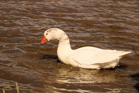 goose playing around
