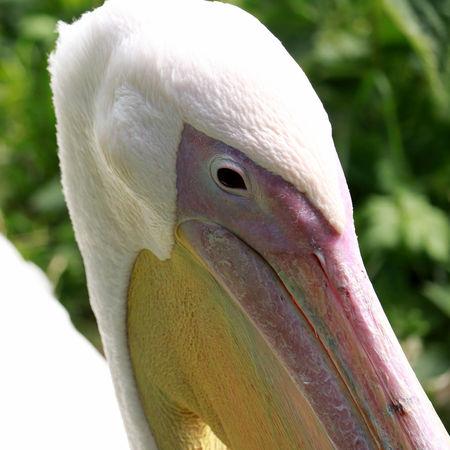 Head of pelican
