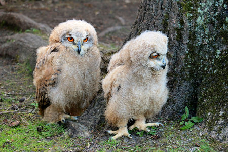 cute baby owls Stock Photo