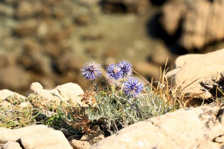 sandstone and flower near Lopar on the island Rab, Croatia