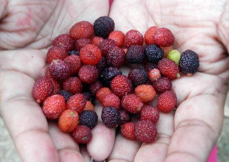Forest Fruit of Uttarakhand State in India.