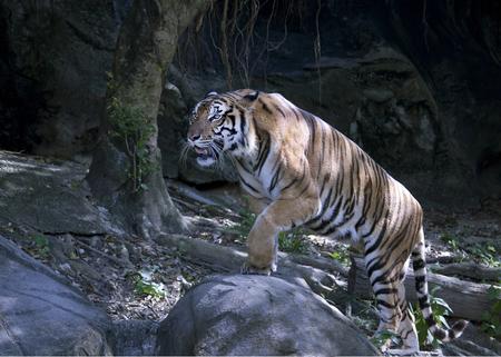 bengal tiger climbing the rock