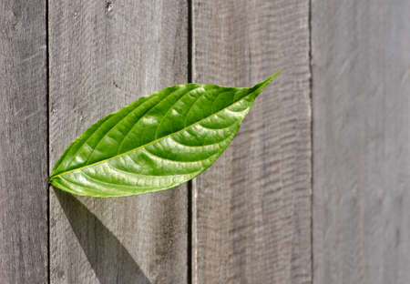 green leaf on wood wall Stock Photo - 11051062