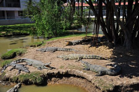 Crocodiles in a farm,Suphan Buri, Thailand. photo