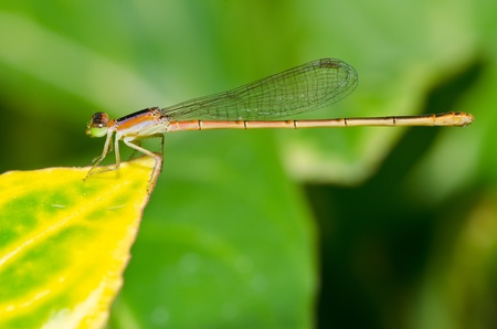 dragonfly outdoor (damselfly) photo