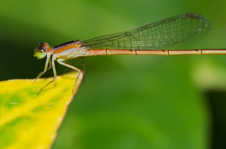 dragonfly outdoor (damselfly)