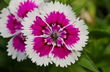 Bee on Dianthus chinensis (China Pink) is a species of Dianthus native to northern China, Korea, Mongolia, and southeastern Russia.