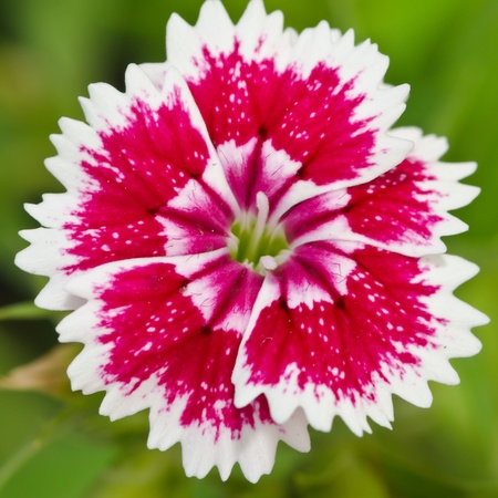 chinensis: Dianthus chinensis (China Pink) is a species of Dianthus native to northern China, Korea, Mongolia, and southeastern Russia.