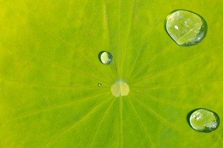 Drop of water on Lotus leaf Stock Photo