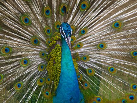 peacock Stock Photo - 8088796