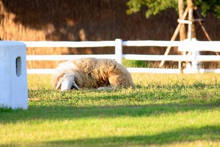 sheep Stock Photo - 8428181