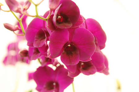 orchid of siam Stock Photo - 8428188