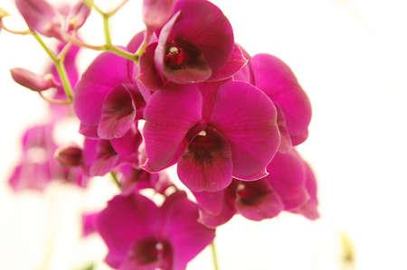 siam: orchid of siam
