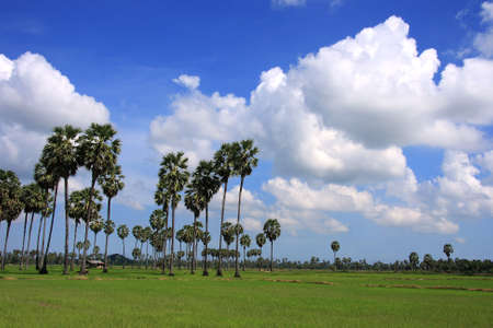 Sugar palm and sky in rice green field Stock Photo - 9817457