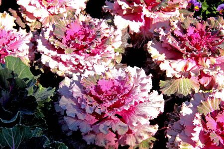 More pink of decorative cabbage and drops of ice closeup at Park Inthanon county Chaing Mai, of Thailad Stock Photo - 12953505