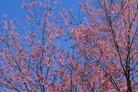 Beautiful pink sakura flower with blue sky at Park Inthanon county Chiang Mai,Thailand   photo