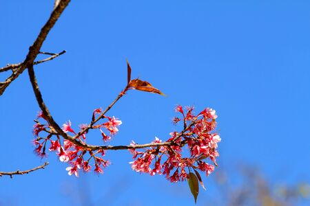 Bouquet sakura and backdrop with blue sky at Park Inthanon county Chiang Mai,Thailand   photo