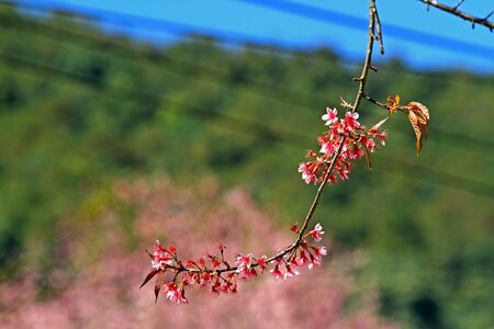 Bouquet pink of sakura wiht soft green backdrop at Park Inthanon county Chiang Mai,Thailand   photo