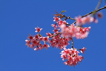 Flower pink of sakura is blooming and blue sky at Park Inthanon county Chiang Mai,Thailand   photo