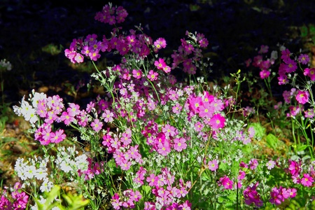 Violet and white cosmos flowers wiht backdrop at Park Inthanon county Chiang Mai, of Thailand  photo