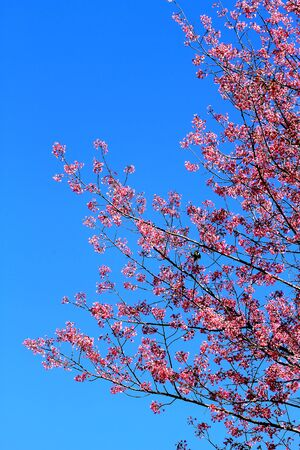 Pink sakura flower cut with backdrop of blue sky at Park Inthanon county Chiang Mai,Thailand   photo