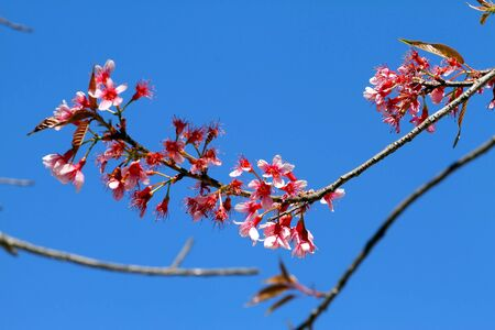 Beautiful blue sky and  pink sakura flower at Park Inthanon county Chiang Mai,Thailand   photo