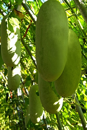 Marrow is in the tree at international horticultural exposition of Chiang mai, Thailand  photo
