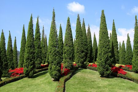 horticultural: Beautiful the pine with blue sky and green grass field at international horticultural exposition of Chiang mai, Thailand