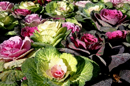 Beautiful more color flower cabbage and small crystallized dew on morning in the winter photo