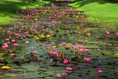 Red lotus and green grass at canal Sukhothai Historical park, Thailand  photo