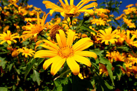 The Mexican sunflower weed valley in Maehongson, Thailand.  Stock Photo - 16205543