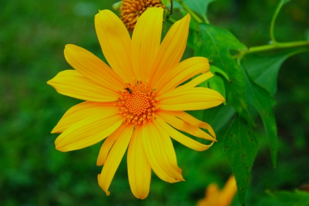 The mexican sunflower weed boom with green backdrop in Phayao county of, Thailand