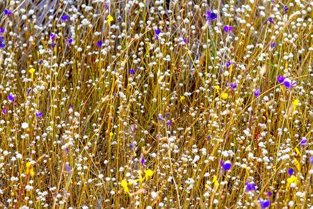eriocaulaceae: Dry Eriocaulon smitinandii flower  ERIOCAULACEAE  It bloom in the Mukdahan Nation Park, Thailand