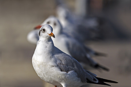 pu: Small seagull wiht blur backgrond at Bang Pu Seaside beach of, Thailand Stock Photo
