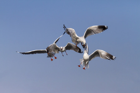 pu: The seagull show action on sky at Bang Pu Seaside beach of, Thailland Stock Photo