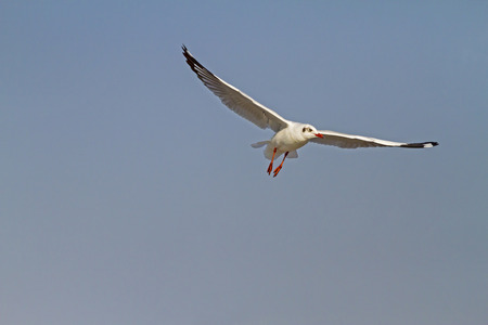 pu: Seagull one fly show on sky at Bang Pu Seaside beach of, Thailand Stock Photo