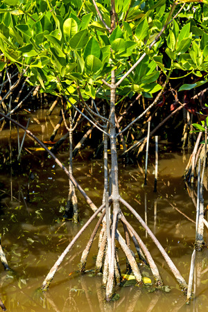 roost: Roost and small tree mangrove on water at Bang Pu Seaside of Thailand Stock Photo
