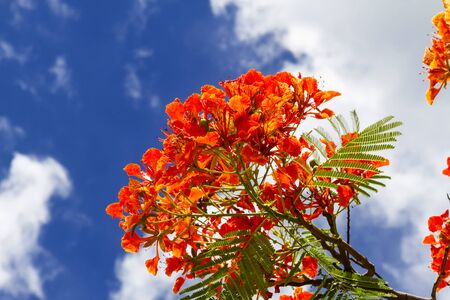 pulcherrima: Red and green Peacock flower or Caesalpinia pulcherrima with blue sky at province Thailand