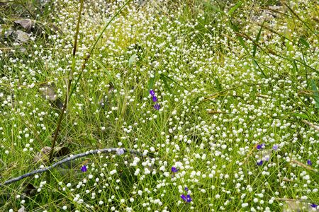 eriocaulaceae: Eriocauulon smitinandii Moldenke , and purple grass flower blooming outdoor in the field Thailand. Stock Photo