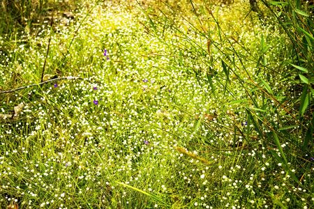 eriocaulaceae: Eriocauulon smitinandii Moldenke , and tree grass flower blooming outdoor in the field Thailand. Stock Photo