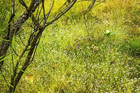 eriocaulaceae: Eriocauulon smitinandii Moldenke , among gold grass flower blooming outdoor in the field Thailand. Stock Photo
