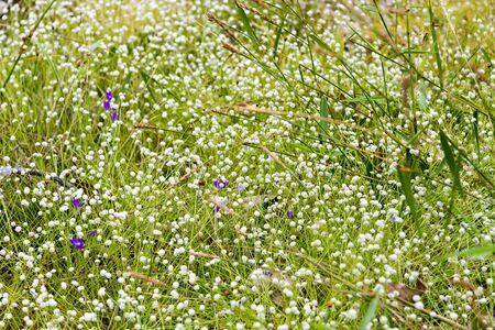 eriocaulaceae: Eriocauulon smitinandii Moldenke , and grass flower blooming outdoor in the field Thailand. Stock Photo