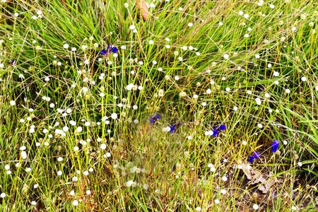 eriocaulaceae: Eriocauulon smitinandii Moldenke , with dry grass flower blooming outdoor in the field Thailand.
