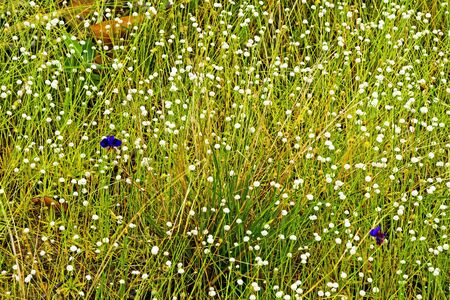 eriocaulaceae: Eriocauulon smitinandii Moldenke , among dry grass flower blooming outdoor in the field Thailand. Stock Photo