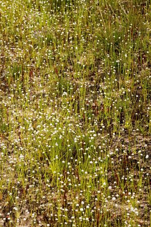 eriocaulaceae: Eriocauulon smitinandii Moldenke , and dry grass flower blooming outdoor in the field Thailand. Stock Photo