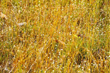 eriocaulaceae: Eriocauulon smitinandii Moldenke , dry grass yellow and flower blooming outdoor in the field Thailand.