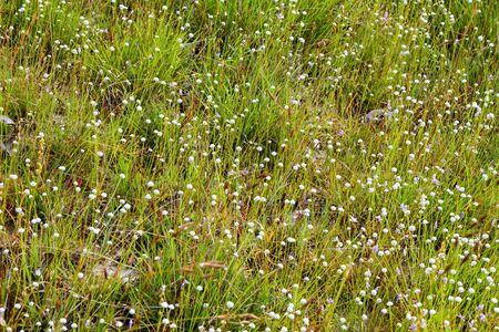 eriocaulaceae: Eriocauulon smitinandii Moldenke, green grass and white flower blooming outdoor in the field Thailand.