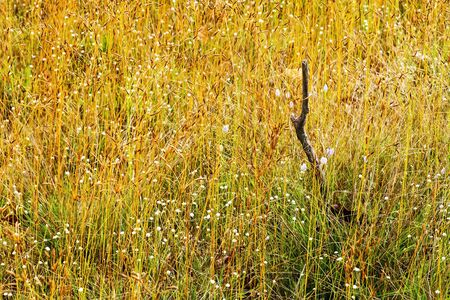 eriocaulaceae: Eriocauulon smitinandii Moldenke ,gold dry grass and flower blooming outdoor in the field Thailand.