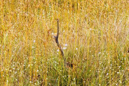 eriocaulaceae: Eriocauulon smitinandii Moldenke , dry grass gold and flower blooming outdoor in the field Thailand.