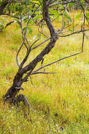 eriocaulaceae: Eriocauulon smitinandii Moldenke, grey tree and yellow grass flower blooming outdoor in the field Thailand.